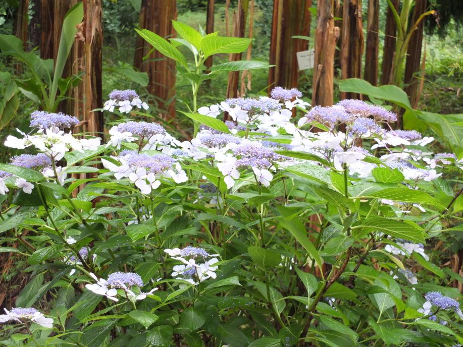 日本庭園&ハナキササゲ。24.6 色とりどりのハナショウブ園。22.6... 小石川植物園の風景